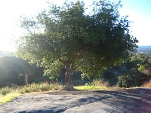Oak tree on Chaney Trail