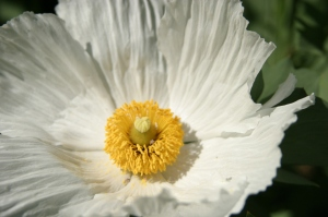 Matilija poppy, by Drew Ready