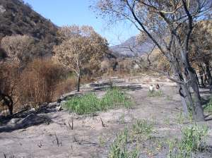 Arundo sprouts post-fire